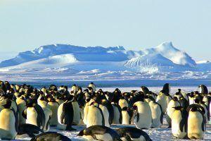 emperor-penguins-429127_640